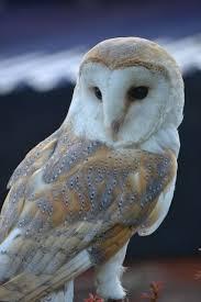 Where Does The Barn Owl Live Https I Pinimg Com 736x Df 09 E2 Df09e23e3d28a4a