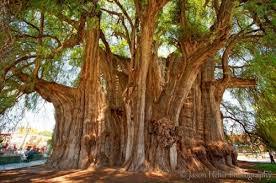 unique trees oddities