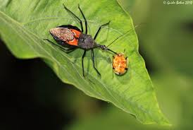 Pictures Of Tiny Red Bugs by Stink Bug 101 An Introduction To Stink Bugs The Infinite Spider