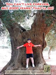 Tree Meme - meme pass it on 2000 year old olive tree grand voyage italy