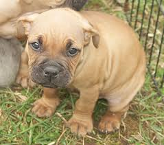 colby american pitbull terrier official pit bull site of diane jessup