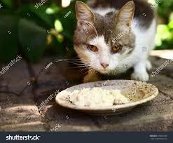 sick stray cat eat plate stock photo 378001039 shutterstock
