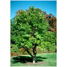 hybrid american chestnut tree 2 gallon potted growers solution