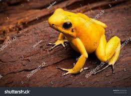 poisonous frog poison dartfrog phyllobates terribilis stock photo