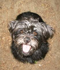 affenpinscher white affenpinschers affenpinscher dog information u0026 facts