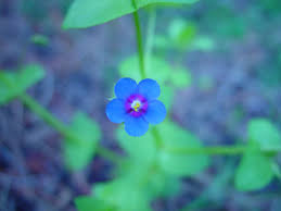 free picture small blue flower