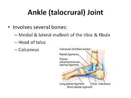 Talus Ligaments Joints Of The Body Terminology Articulations U2013 Points Of Contact