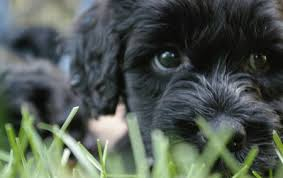 affenpinscher ottawa welcome to our home on the web portuguese water dog breeder
