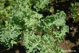 the kale calcium connection grow u0026 eat leafy greens series part 4 5