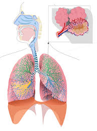 respiratory system thinglink
