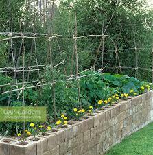 gap gardens tomatoes growing in cinder block raised bed in