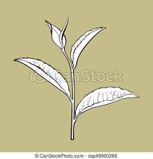 clip art vector of hand drawn tea leaf side view sketch vector