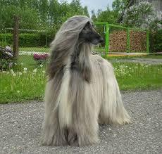afghan hound lifespan 206 best afghan hound images on pinterest afghans afghan hound
