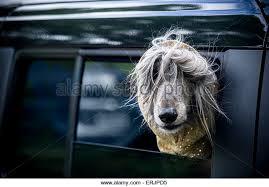 afghan hound ireland afghan hound black stock photos u0026 afghan hound black stock images