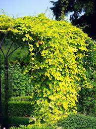 15 climbing vines for lattice trellis or pergola fast growing