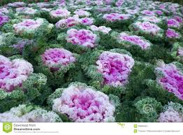 purple ornamental cabbage plant stock photo image 48856634
