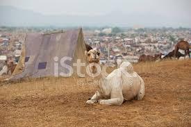 camel tents white camel and tents at pushkar fair india stock photos