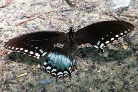 how is this butterfly able to fly with one wing so much damaged
