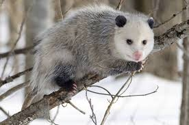 How Do You Get Rid Of Possums In The Backyard by How To Get Rid Of Ticks On Your Property Treehugger