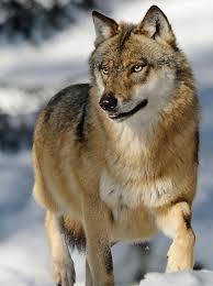 Michigan wildlife images Hunting cmu public radio news jpg