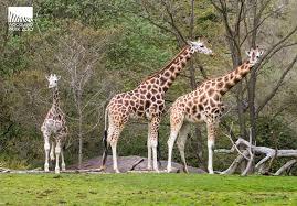 Zoo Lights Woodland Park Zoo by Woodland Park Zoo Blog Cupid Visits The Savanna Giraffes Dave