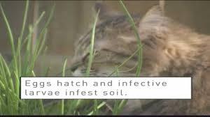 feline hookworms youtube