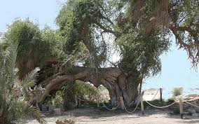 rooted in s history five remarkable trees the times of