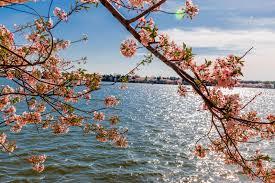 National Cherry Blossom Festival by Photos From The National Cherry Blossom Festival Washington Dc