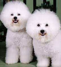 bichon frise meme bichon à poil frisé races de chiens animaux