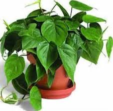 Common Tropical House Plants - 10 common house plants that are toxic to cats skinny ms