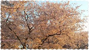 National Cherry Blossom Festival by National Cherry Blossom Festival Just Mi