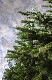 live christmas trees stay in the pot or go in the ground after