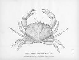 animal u2013 crustacean u2013 crab u2013 black and white u2013 california rock