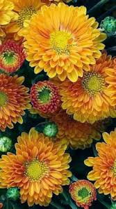 Picture Of Mums The Flowers - mums flowers of the autumn fall when these bloomed at my
