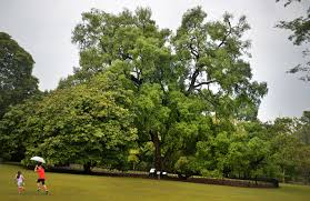 get to know these 9 well known heritage trees environment news