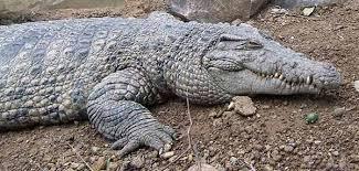 alligator claws crocodiles of new guinea crocodiles of the philippines