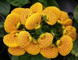 slipper flower calceolaria or pocket slipper flower photo hubert steed photos