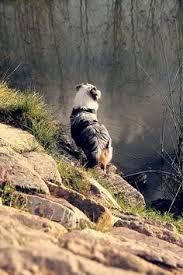 risk n hope australian shepherds australian shepherd husky mix google search cats i wish were