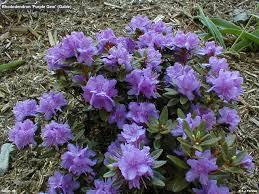 Rhododendron U0027purple Gem U0027 Zone 4 8 Dense Growing Dwarf