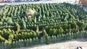 christmas trees get a second life as a winter maze mnn mother