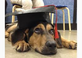 dog graduation cap and gown 8 best animals in graduation caps images on animals