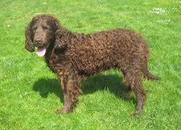 afghan hound saddle dog breed club afghan hound dog breed club