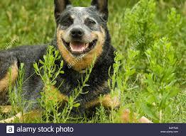 australian shepherd queensland a queensland blue heeler or australian cattle dog cools off in a