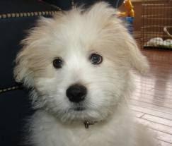 american eskimo dog ireland kimola mix of american eskimo and lhasa apso