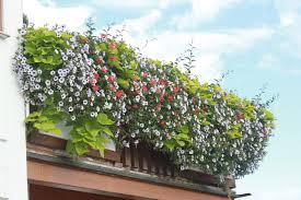 balkon blumen beet und balkonblumen gärtnerei zambach