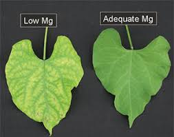Deficiency Diseases In Plants - magnesium deficiency in plants