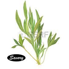 sarriette cuisine perilla dessinée herbe branche avec des feuilles isolé sur