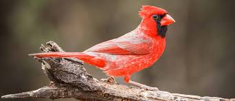 audubon gift center northern cardinal