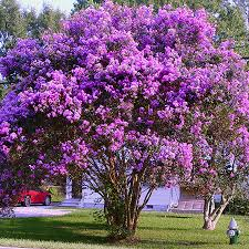 purple twilight crape myrtle for sale fast growing trees