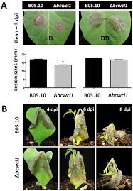 Plant Disease Journal - assessing the effects of light on differentiation and virulence of